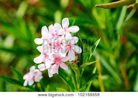 Pink Nerium Oleander Flowers