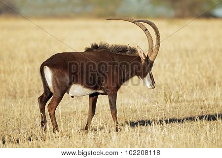 Male sable antelope (Hippotragus niger) with magnificent horns, South Africa
