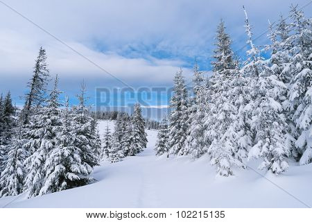 Winter landscape with footpath in the snow. Fir forest