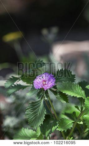 Blue boy bachelor button wildflower, cornflower, Centaurea cyanus