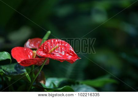 Red anthurium flower, also called the flamingo lily