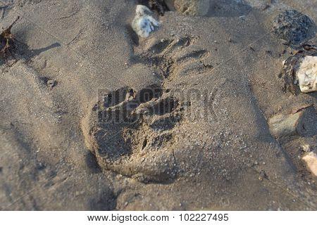 Animal Paw Print In Mud