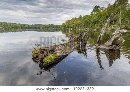 Remains Of A White Cedar Tree Trunk Resting In The Bay Of A Shallow Lake