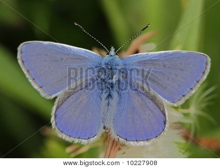 Lycaenidae Plebeius idas on meadow
