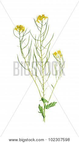 Pressed And Dried Flower Barbarea Vulgaris. Isolated On White Background.