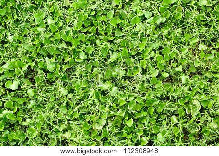 Background Of Beautiful Green Hyacinth And Grass