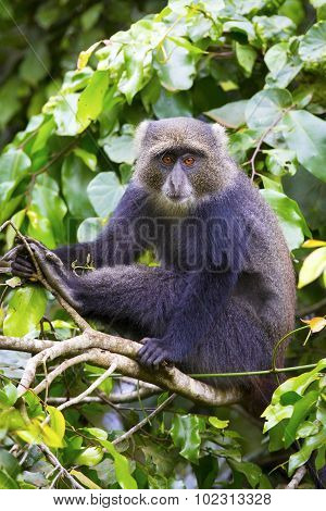 Blue monkey sitting in tree