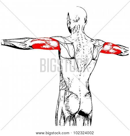 Concept or conceptual 3D triceps human anatomy or anatomical and muscle isolated on white background poster