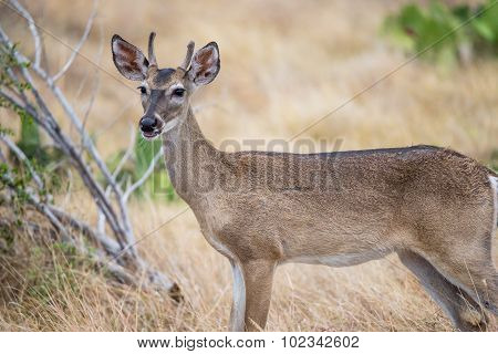 South Texas Yearling Buck