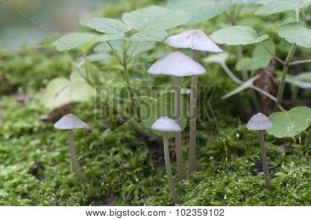 Mycena Galericulata Mushrooms