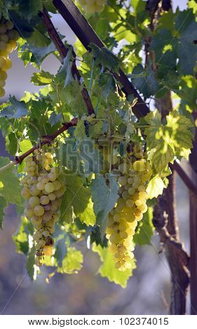 Picture of a ripe grapes ready for harvesting