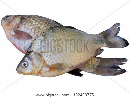 Live Fish Crucian On A White Background.