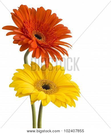 bouquet of gerberas on a white background