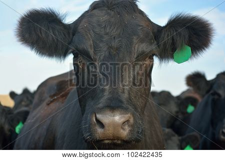 Black Angus Cow with Green Ear Tag in a Pasture