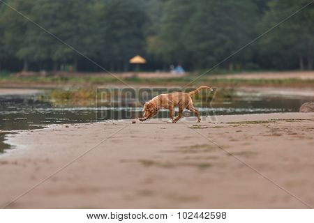 Nova Scotia Duck Tolling Retriever On The Beach