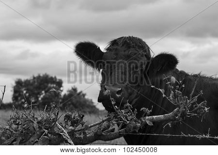 Close shot of a Cow