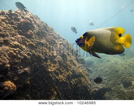 butflyfish
