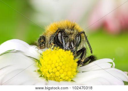 Macro  Bee Collect Honey