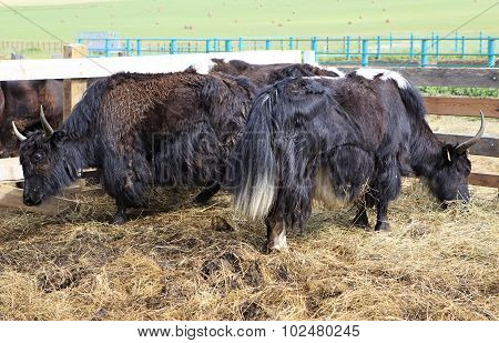 Yak is long haired bovid found throughout the Himalaya region of southern Central Asia