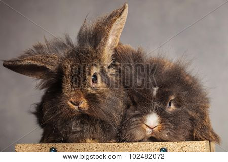 Two furry lion head rabbit bunnys lying together on a wood box, on grey studio background.