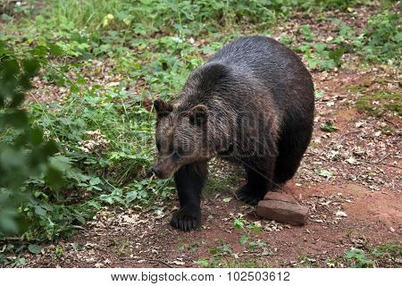Eurasian brown bear (Ursus arctos arctos). Wild life animal.