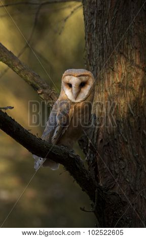 Barn owl, Tyto alba, perched on a branch