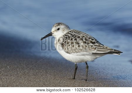 Juvenile Sanderling On A Lake Huron Beach