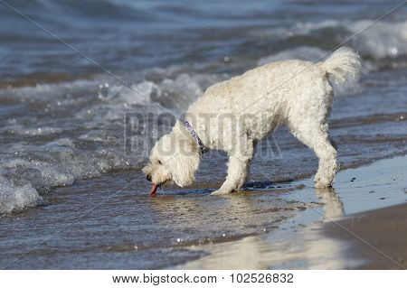Small White Dog Drinking Water At A Beach