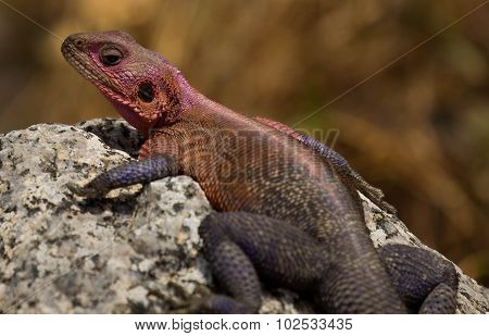 The Agama Lizard