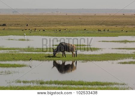 Grazing wildebeest reflection