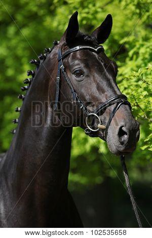 Nice Black Dutch Warmblood With Bridle