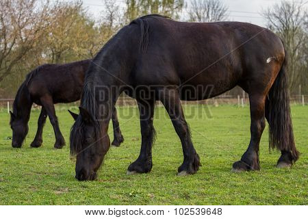 Friesian horse mare with foal on green pasture