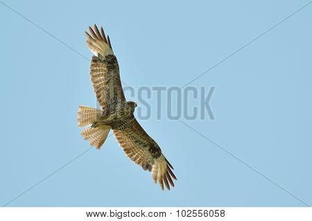 common buzzard flying against blue sky (buteo buteo)