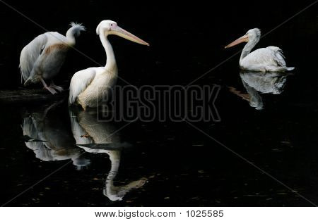 three pelicans in pond moscow city russian zoo poster