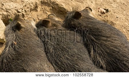 Three wild pigs sleeping next to each other