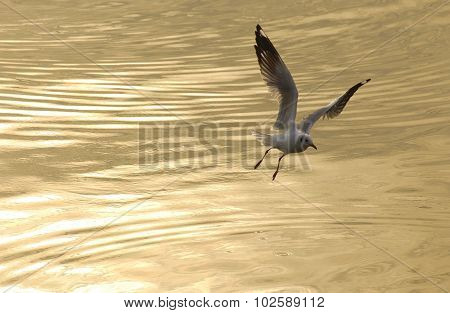 A flying seagull in golden sea background