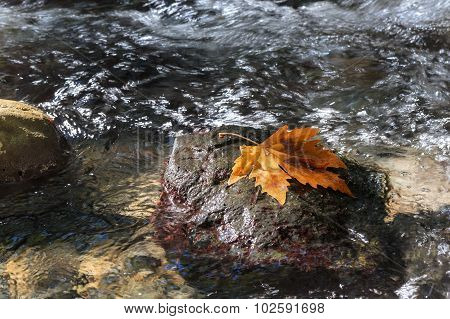 Autumn. Sycamore Leaf On The Stone In Stream.