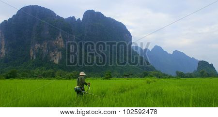 Weeding the rice fields
