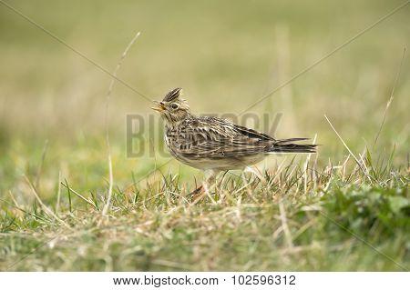 Skylark Alauda arvensis on the grass calling