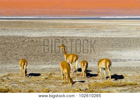 Herd of vicunas
