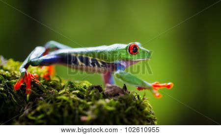 red eyed tree frog Costa Rica tropical rain forest animal, exotic treefrog