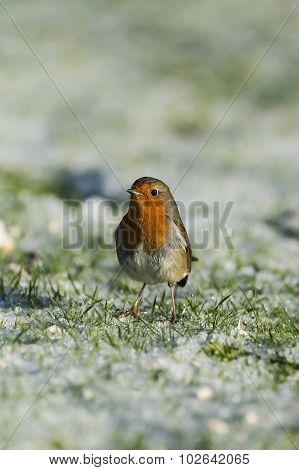 Robin, redbreast, standing on frozen grass, looking for food