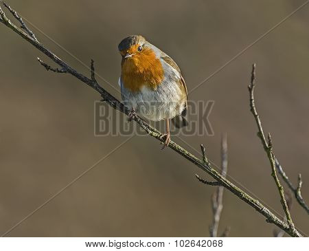 Robin, redbreast, perched on the branch of a tree