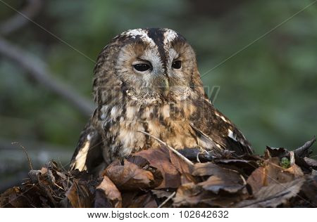 Ashy faced owl sitting in a pile of leaves