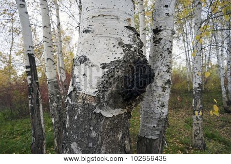 growth on the birch - medicinal mushroom chaga.