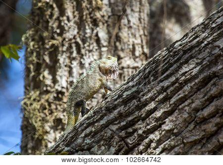 Chameleon, Chamaeleo Zeylanicus