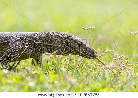 Monitor Lizard (sril Lanka)