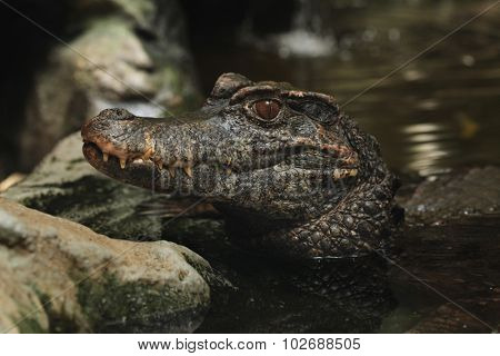 Smooth-fronted caiman (Paleosuchus trigonatus), also known as Schneider's dwarf caiman. Wild life animal.  poster