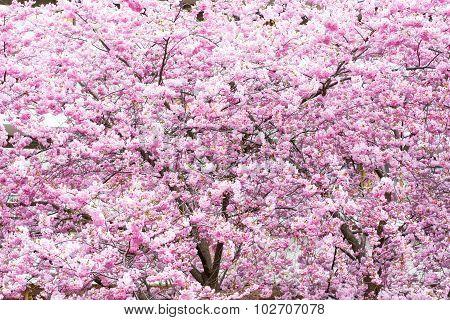 Beautiful pink cherry blossom, Sakura flowers Background