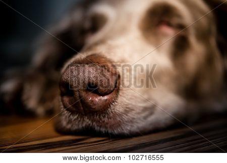 Sleeping Dog Breed Weimaraner